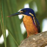 An Azure Kingfisher spotted in Kakadu National Park